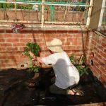 Kim busy tomatoe planting